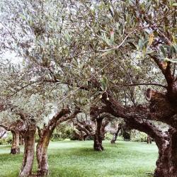 uwielbiam oliwne ogrody greckie pozytywnie kreatywnie simplecreations lovesimple drzewo oliwkihellip